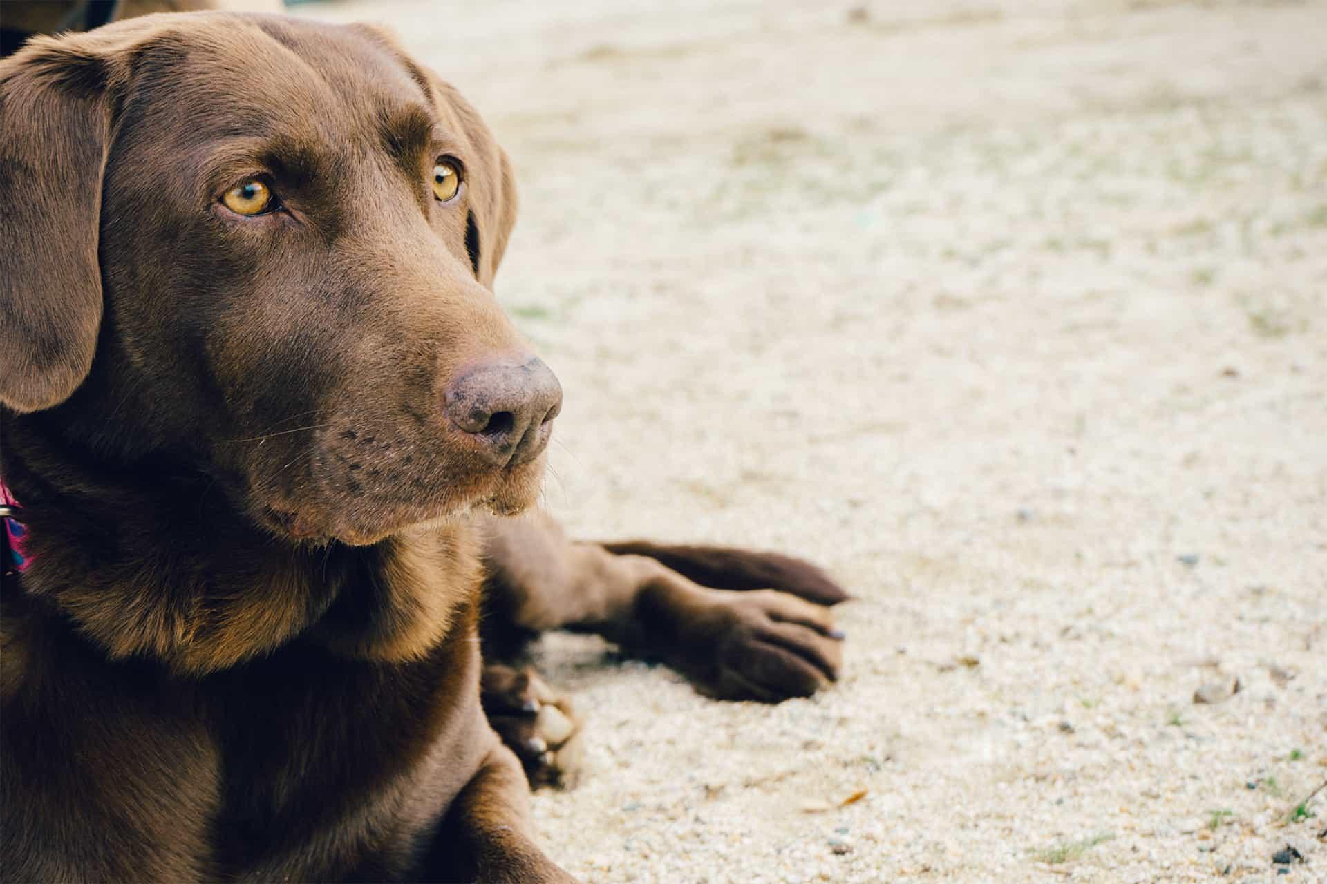 Brown dog lying on sand