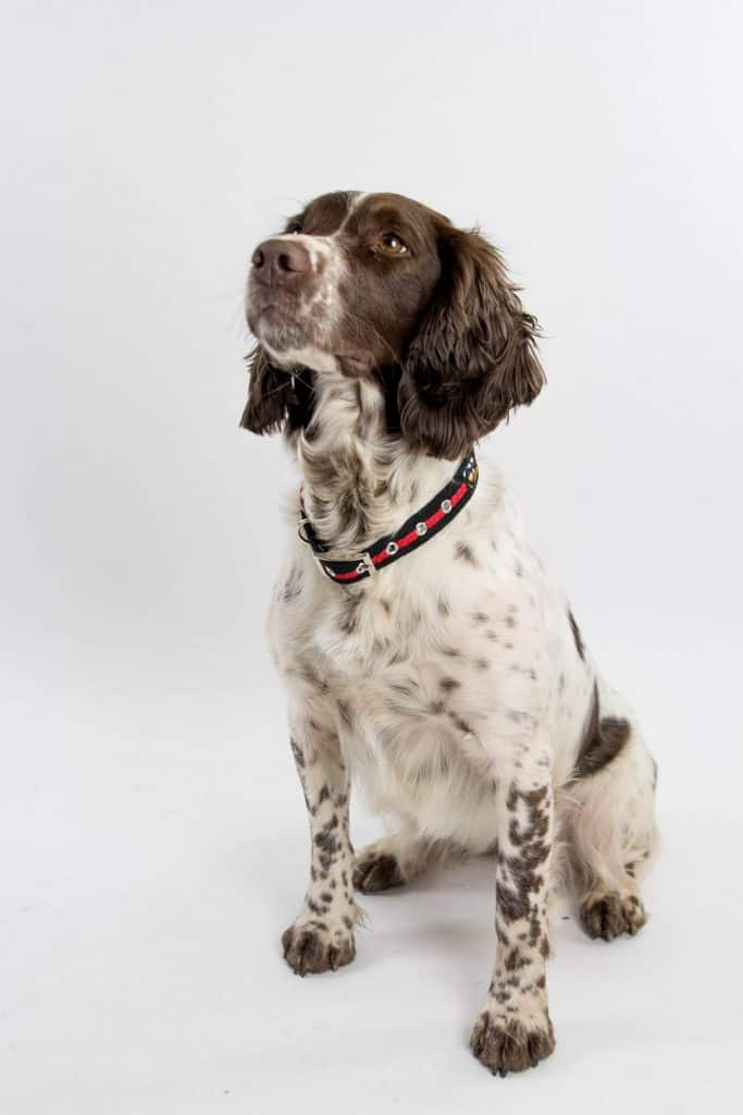 Spaniel dog wearing a black and red fabric collar