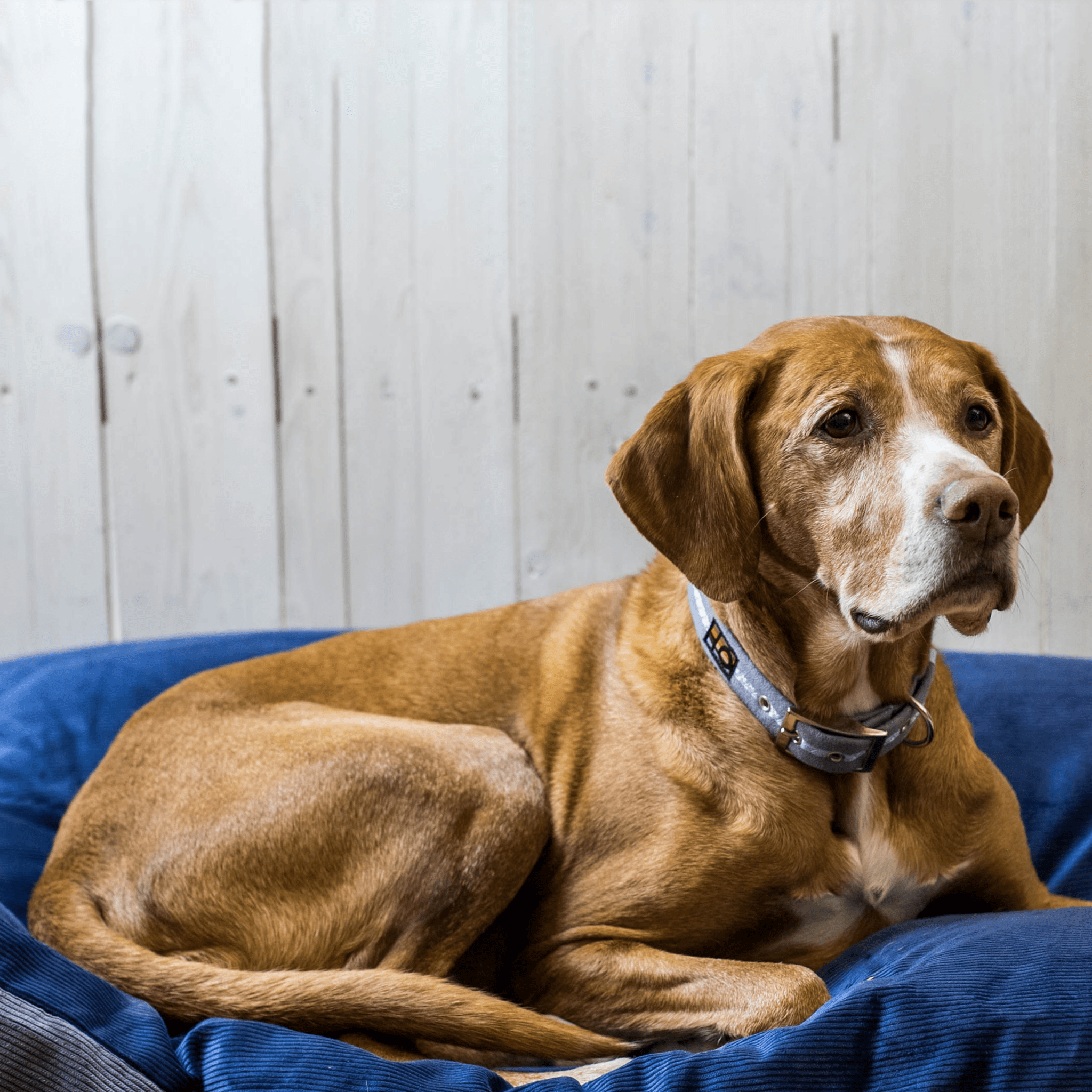 A dog in an Oscar and Hooch collar, sitting on a blue dog bed