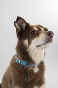 Turquoise dog collar