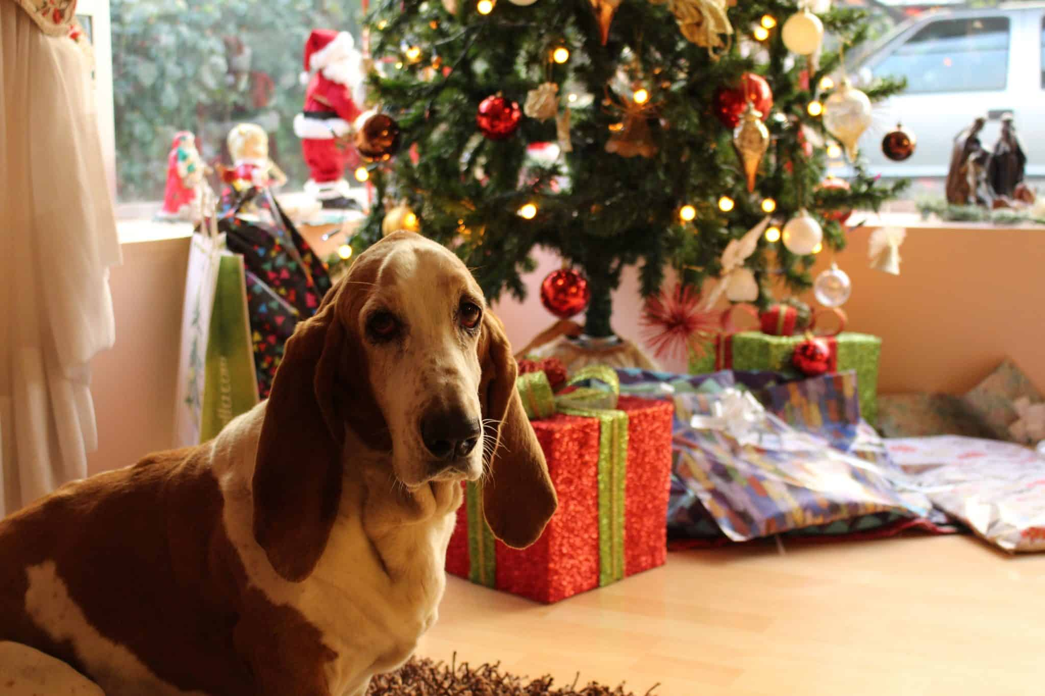 Dog sat by a christmas tree with presents
