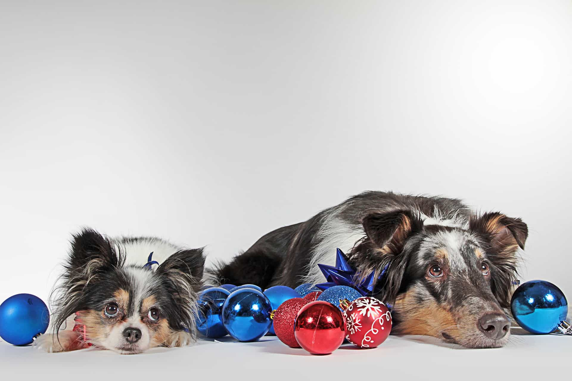 Two dogs lying down surrounded by baubles