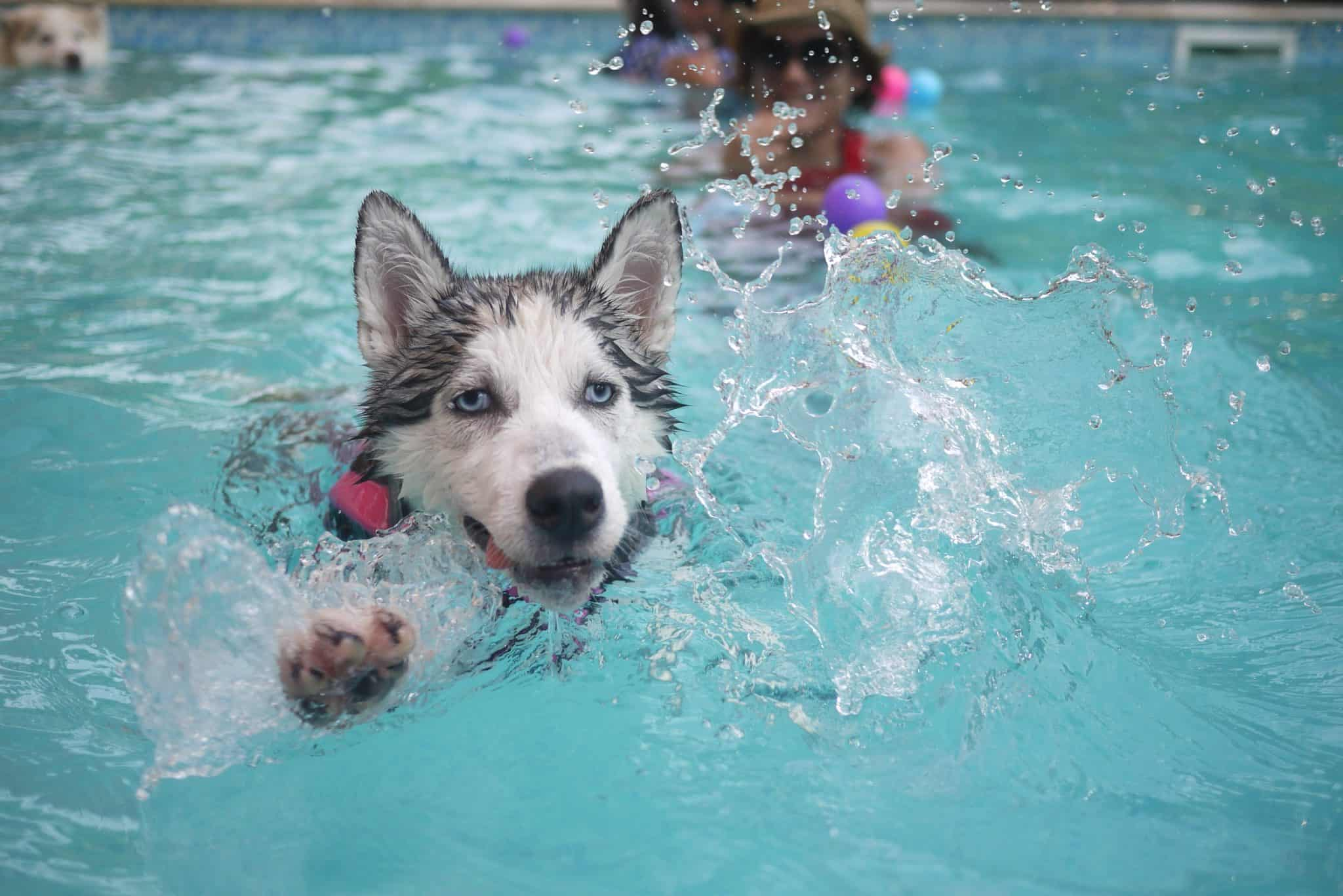 Husky swimming in a pool
