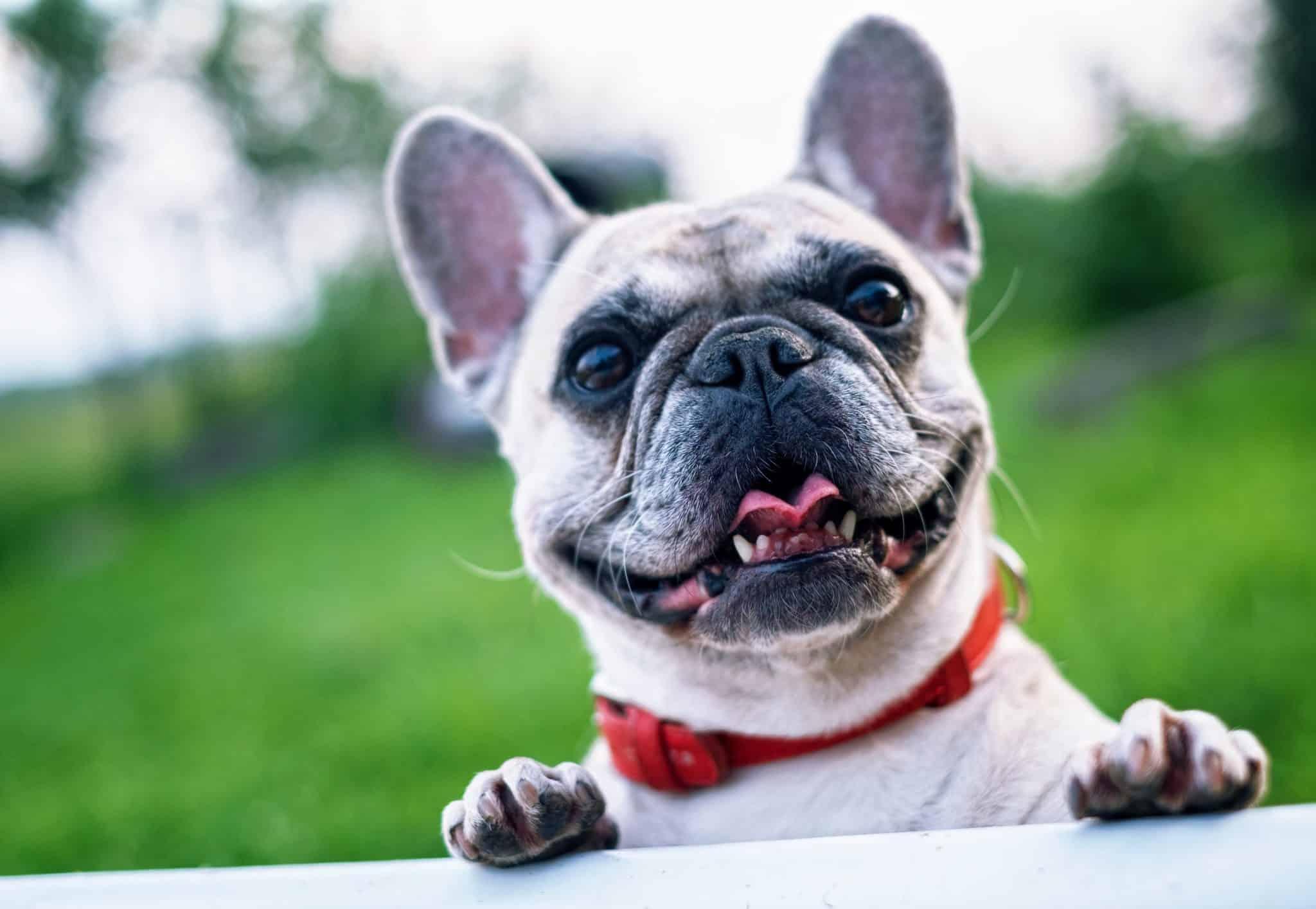 Happy French Bulldog
