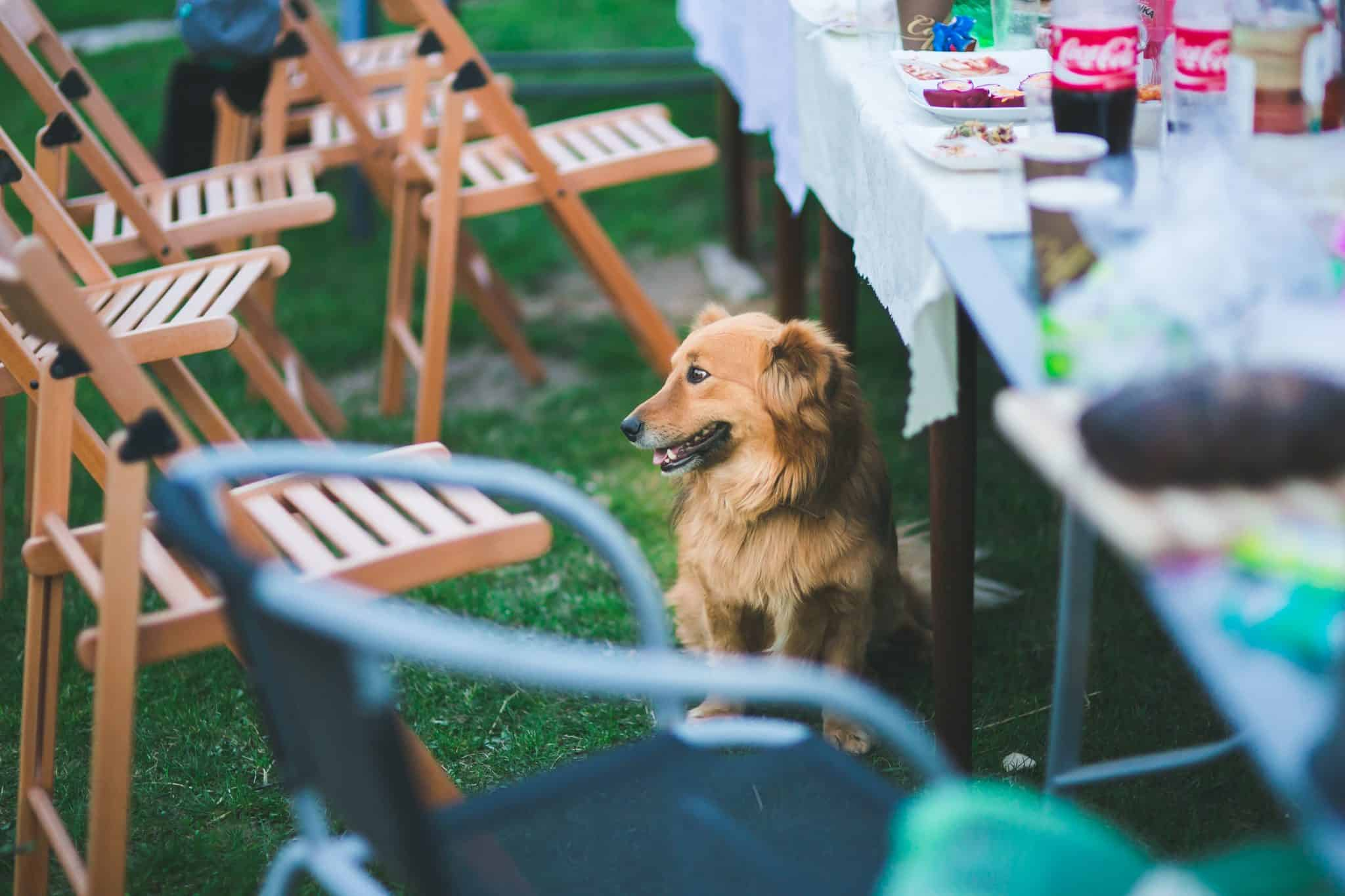 Dog at a garden party