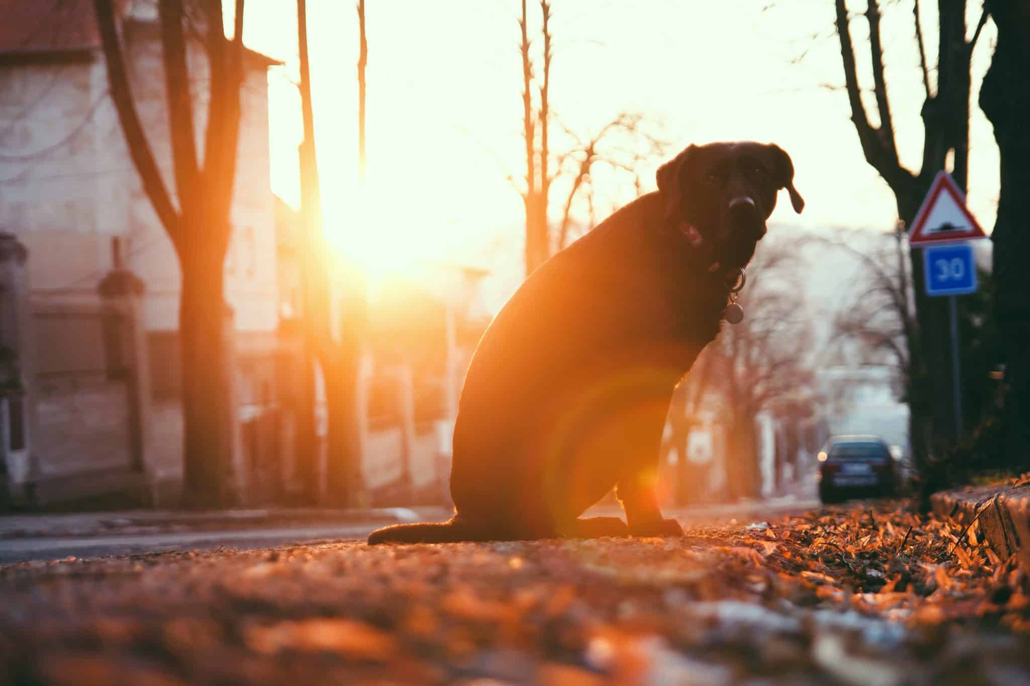 Labrador sat on the pavement in evening sun