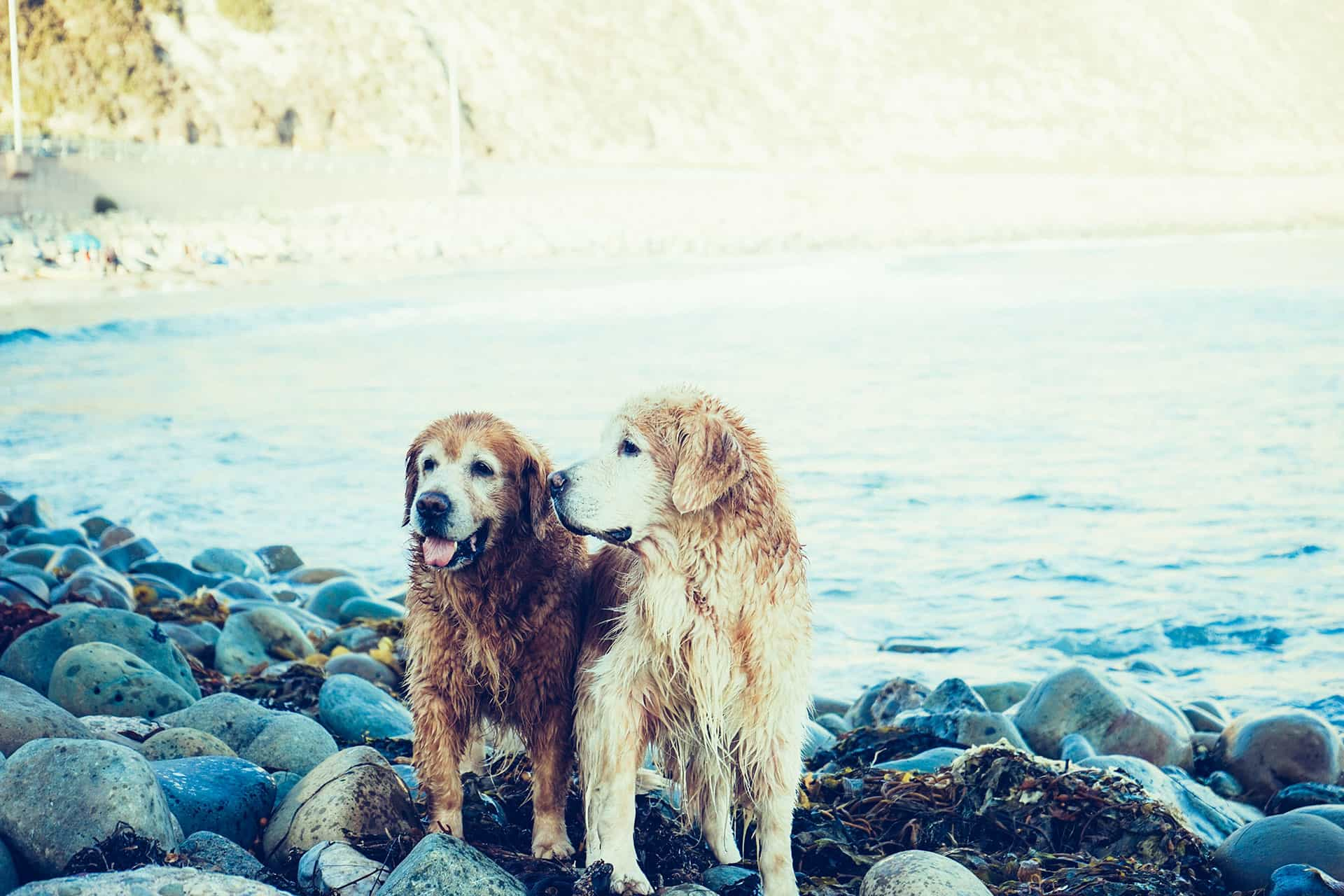 Two dogs on a pebble beach near the sea