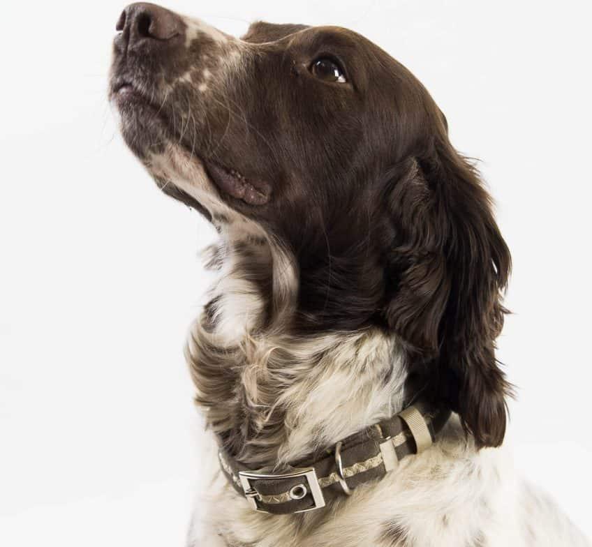 Dog wearing brown dog collar