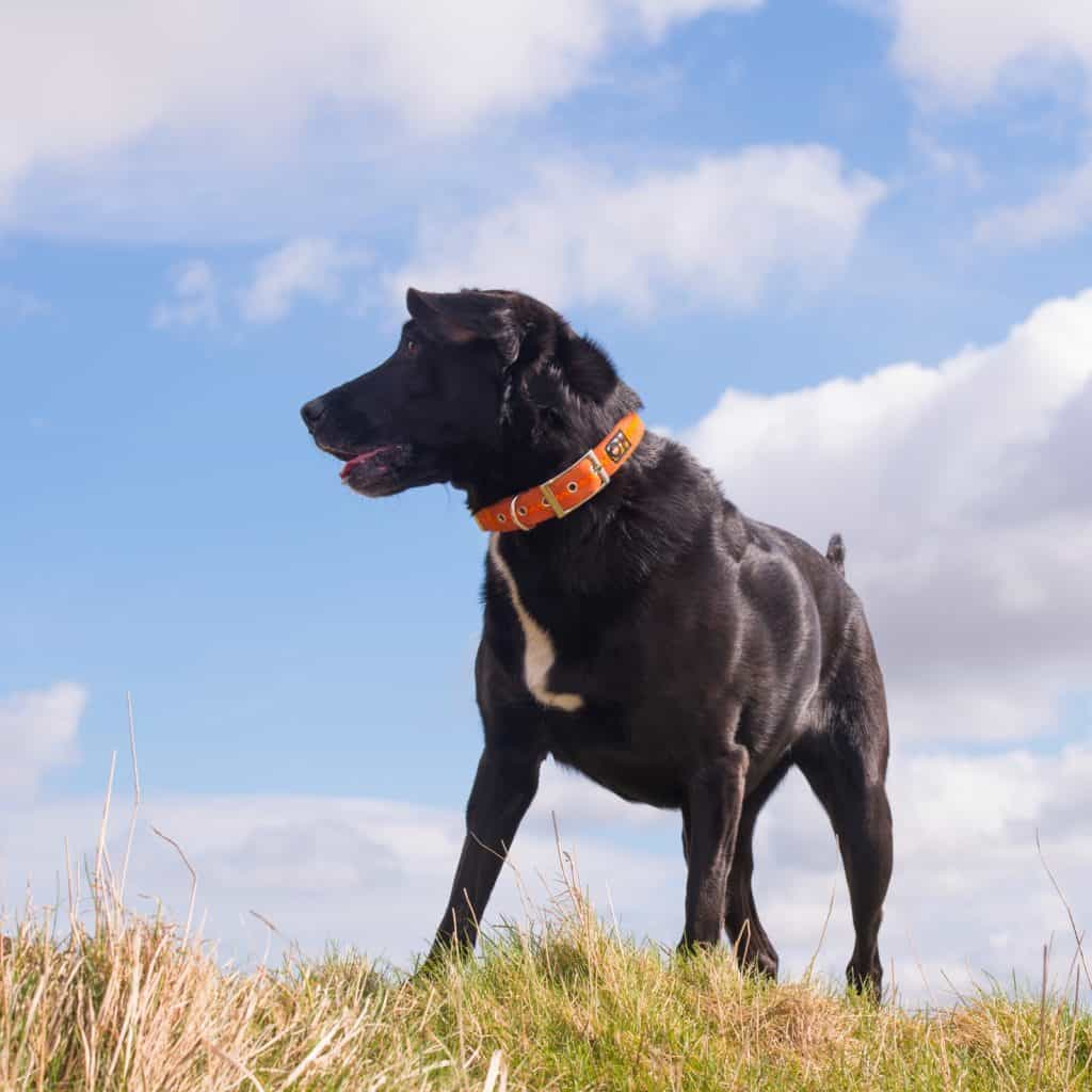 Orange dog collar on black dog