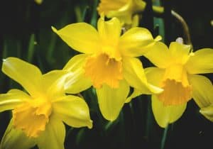 daffodils can be poisonous to dogs