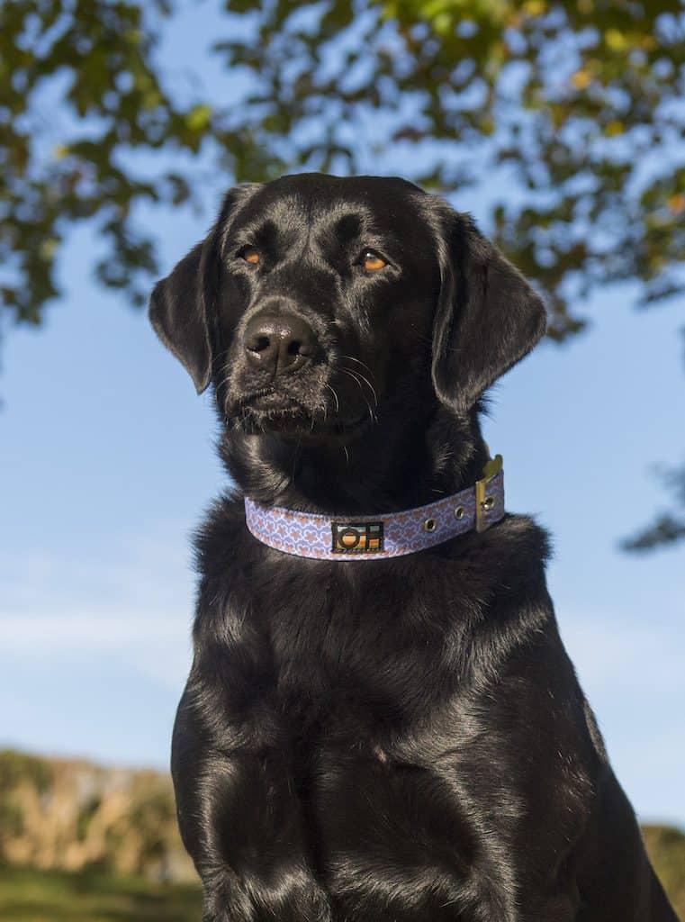 Blue daisy dog collar