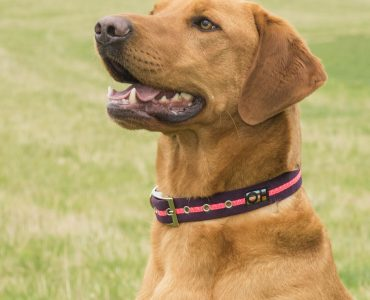 Does my dog need to wear a collar?