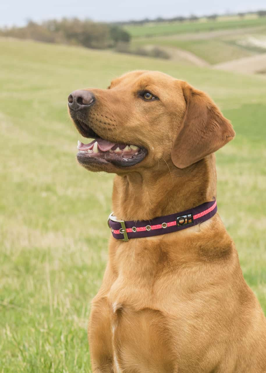 Pink neon dog collar