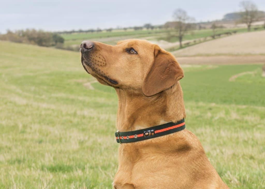 Neon orange dog collar