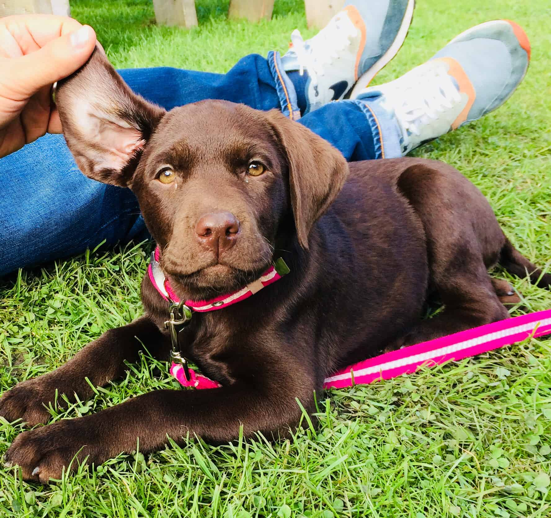 Best dog collars for labradors uk