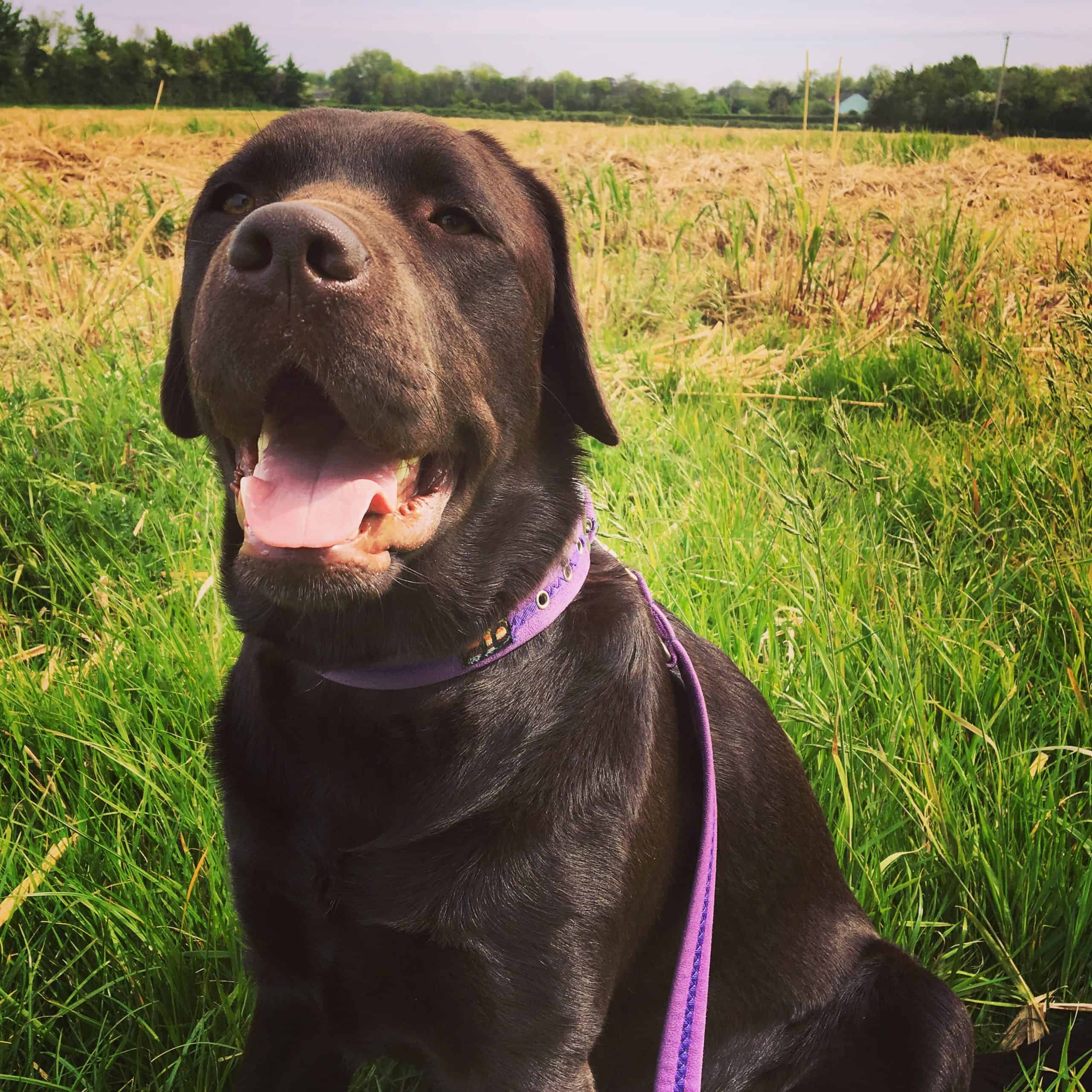 Hurley the lab best dog collar for Labrador