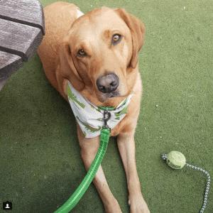 Gus Legend Best dog collar for labradors