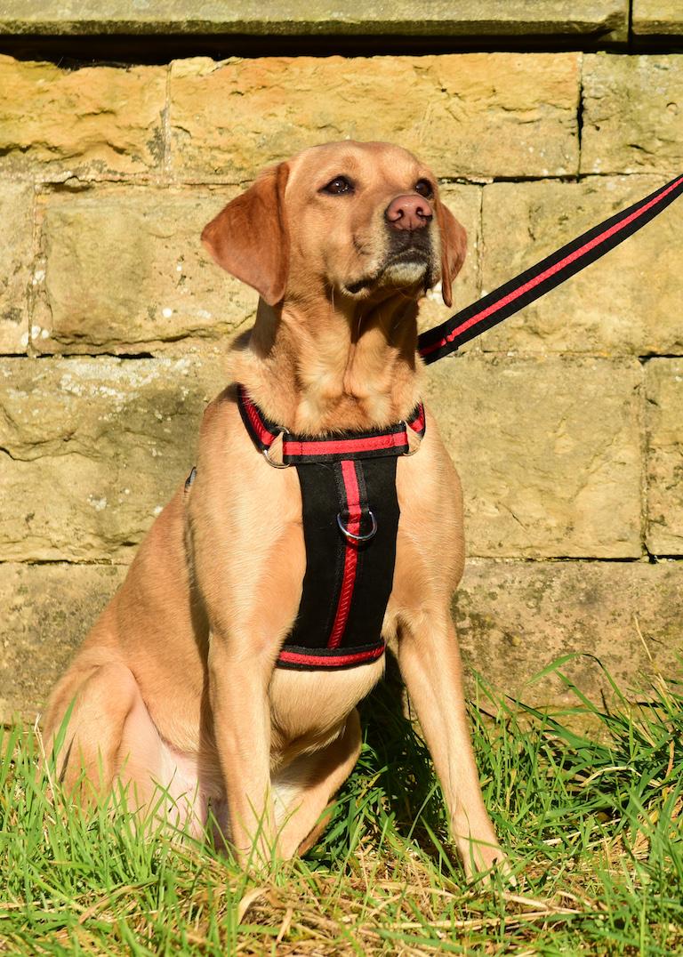 Oscar & Hooch black red harness lifestyle