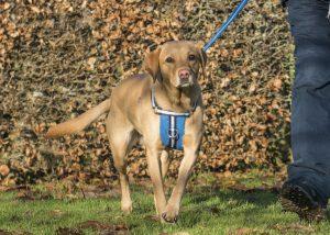 Oscar & Hooch blue harness lifestyle